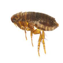 flea-220